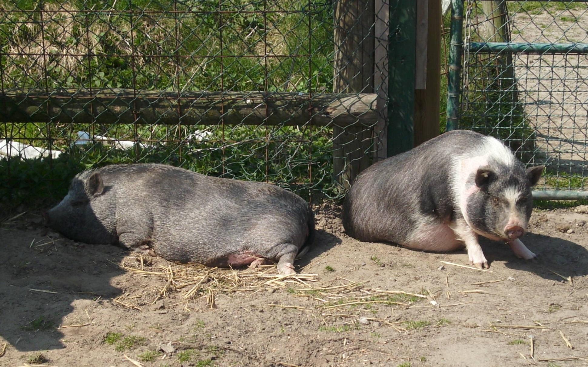 Jugendhof_Schweine